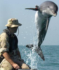 dolfijn die mijnen opporrt tijdens de Golfoorlog in Irak. Foto via Wikipedia (link)